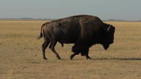 Dzicy Męscy bizonów spacery zbiory wideo