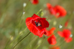 dzicy maczków kwiaty Obrazy Stock