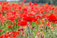 Dzicy maczki kwitnie w polu wiosna kwiat Fotografia Stock