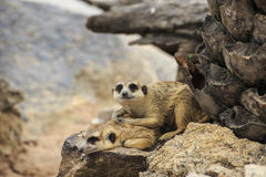 Dzicy meerkats Obrazy Royalty Free