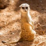 Dzicy meerkats Fotografia Royalty Free