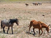 Dzicy mustangi, Nevada pustynia Fotografia Royalty Free