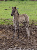 Dzicy niemieccy konie zdjęcia stock