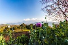 Dzicy opia kwitną przy Doi Mae Taman, Górska Rolnicza stacja zdjęcia royalty free