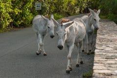 Dzicy osły Błagają dla jedzenia od turystów Zdjęcia Royalty Free