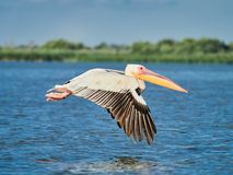Dzicy pelikany w Danube delcie w Tulcea, Rumunia fotografia stock