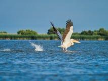 Dzicy pelikany w Danube delcie w Tulcea, Rumunia zdjęcie stock