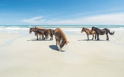Dzicy Plażowi konie w Zewnętrznych bankach Stany Zjednoczone fotografia royalty free