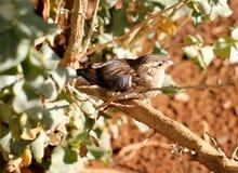 Dzicy południe - afrykański Finch Zdjęcia Royalty Free