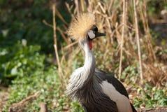 Dzicy południe - afrykanina Koronowany żuraw Zdjęcie Royalty Free