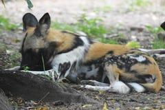 dzicy południe - afrykanina psi obwąchanie ziemia Zdjęcie Stock