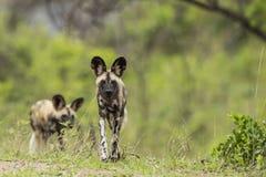 Dzicy psy Południowa Afryka obrazy royalty free