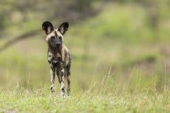 Dzicy psy Południowa Afryka obraz royalty free
