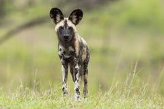 Dzicy psy Południowa Afryka obrazy stock