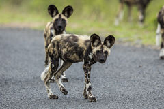 Dzicy psy Południowa Afryka zdjęcia stock