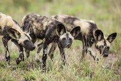 Dzicy psy Południowa Afryka zdjęcie royalty free