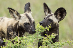 Dzicy psy Południowa Afryka obraz stock