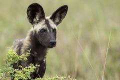 Dzicy psy Południowa Afryka fotografia stock