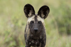 Dzicy psy Południowa Afryka zdjęcia royalty free