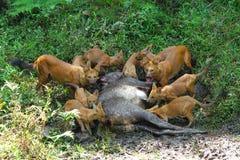 Dzicy psy z zwłoka sambar rogacz Zdjęcie Stock