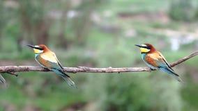 Dzicy ptaków zjadacze huśtają się na gałąź i latają zbiory