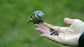 Dzicy ptak zięby łasowania ziarna od ręki zdjęcie wideo