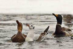Dzicy ptaki unosi si? na wodzie zdjęcia stock
