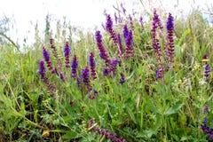 Dzicy purpura kwiaty Obrazy Stock