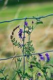Dzicy purpura kwiaty Fotografia Royalty Free