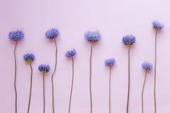Dzicy purpura kwiaty układali z rzędu na różowym tle Odgórny widok Mieszkanie nieatutowy Zdjęcia Royalty Free