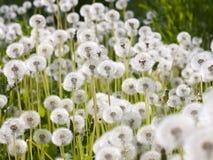 Dzicy puszyści dandelions Zdjęcia Royalty Free