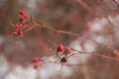 Dzicy różani biodra w śnieżnym tle Zdjęcie Stock