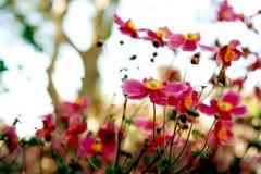 Dzicy Różowi Anemonowi Kwiaty Fotografia Royalty Free