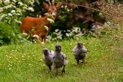 Dzicy roe samiec, ciekawie patrzeje grupy kurczaków dzieci zdjęcia stock