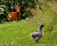 Dzicy roe samiec, ciekawie patrzeje grupy kurczaków dzieci fotografia stock