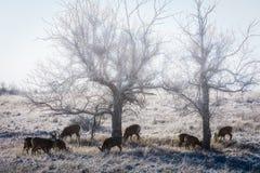 Dzicy rogacze na Wysokich równinach Kolorado - muła Jeleni stado w mgle fotografia stock