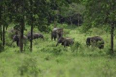 Dzicy słonie żyją w głębokim lesie Fotografia Royalty Free