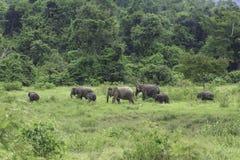 Dzicy słonie żyją w głębokim lesie Obraz Stock