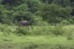 Dzicy słonie żyją w głębokim lesie Fotografia Stock