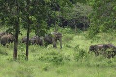 Dzicy słonie żyją w głębokim lesie Obrazy Royalty Free