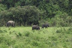 Dzicy słonie żyją w głębokim lesie Zdjęcia Royalty Free