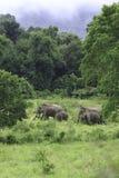 Dzicy słonie żyją w głębokim lesie Zdjęcia Stock
