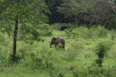 Dzicy słonie żyją w głębokim lesie Obraz Royalty Free