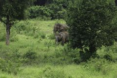 Dzicy słonie żyją w głębokim lesie Obrazy Stock