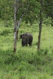 Dzicy słonie żyją w głębokim lesie Zdjęcie Royalty Free