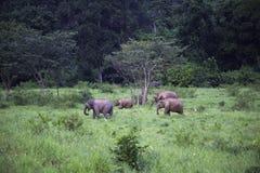 Dzicy słonie żyją w głębokim lesie park narodowy Zdjęcia Royalty Free