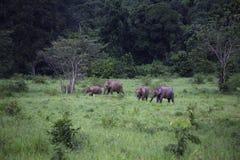 Dzicy słonie żyją w głębokim lesie park narodowy Zdjęcia Stock