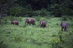 Dzicy słonie żyją w głębokim lesie park narodowy Zdjęcie Royalty Free