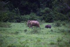 Dzicy słonie żyją w głębokim lesie park narodowy Obrazy Royalty Free