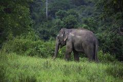 Dzicy słonie żyją w głębokim lesie w parku narodowym Zdjęcie Stock